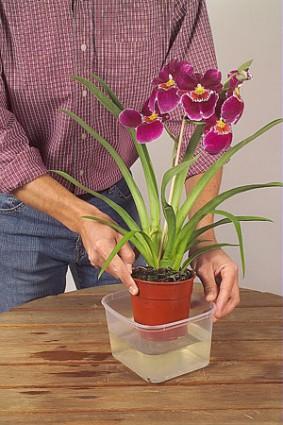 orchidee-eau