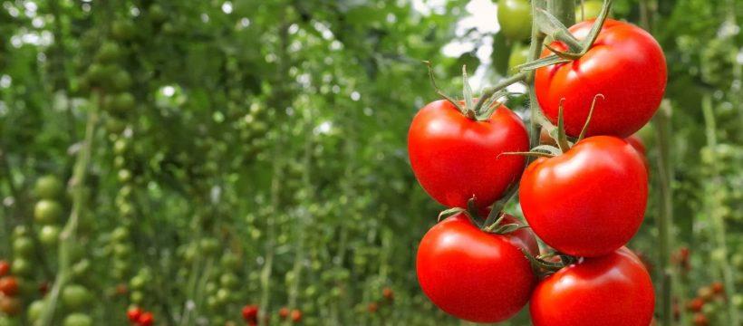 tomates-recolte.