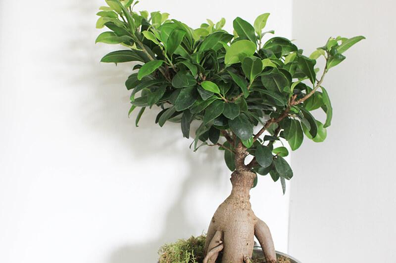 plantes-style-bonsai